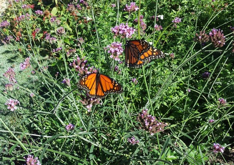 Monarchs feeding during their migration