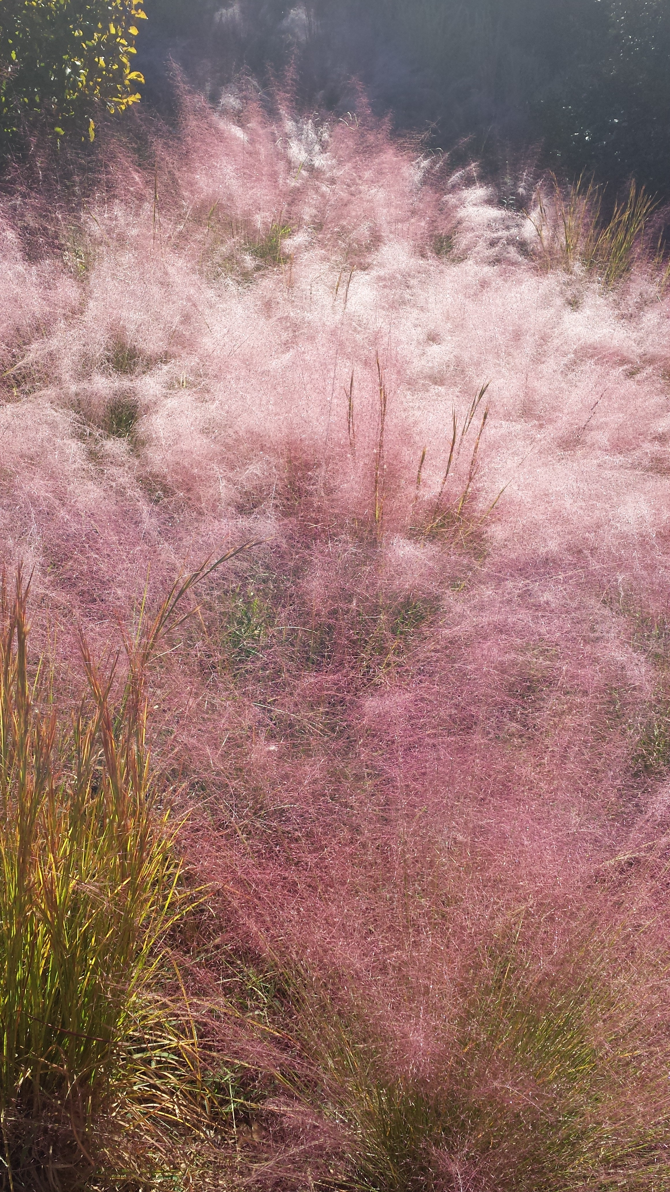 Morning dew on Pink Muhly Grass