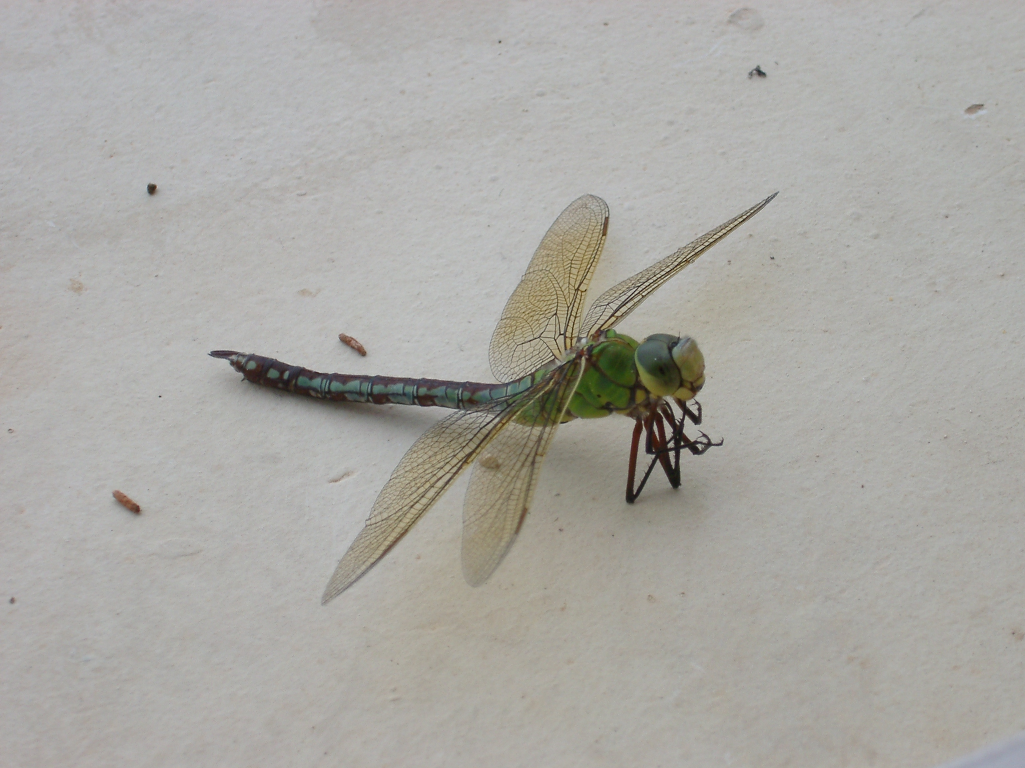 Dragonfly, La Laune.jpg