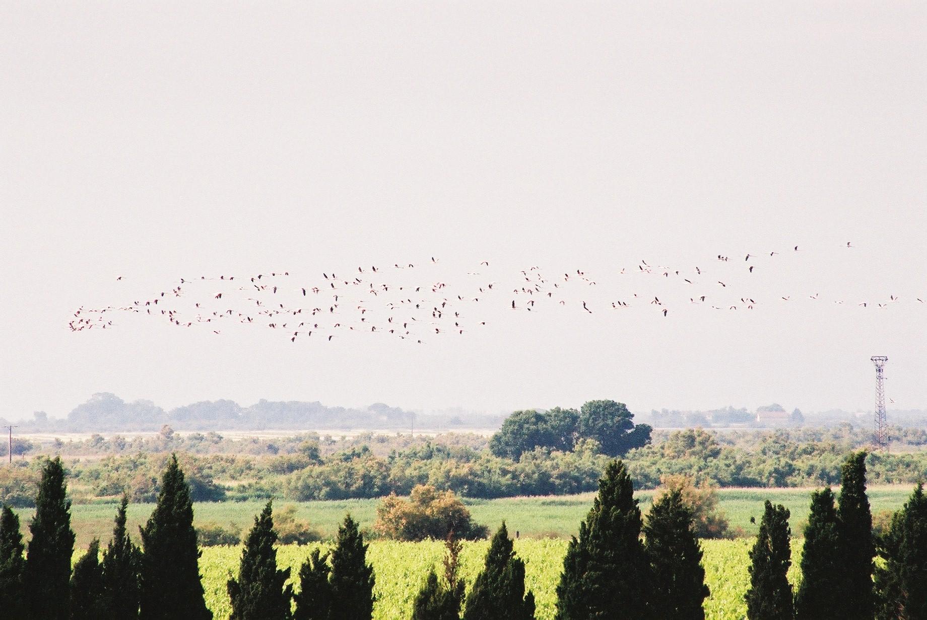 Flamingos, La Laune.JPG
