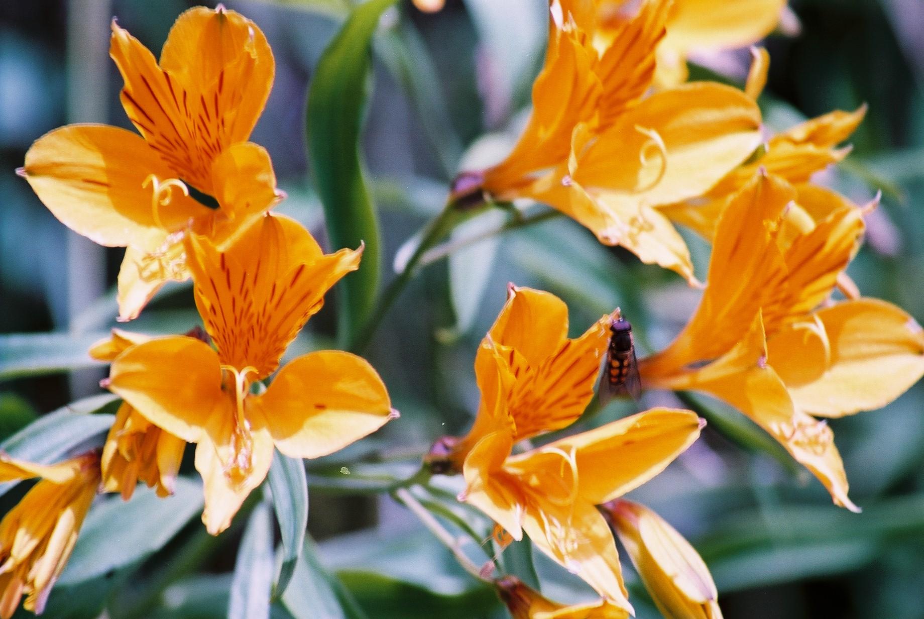 Flowers and Bee, Lanin.JPG