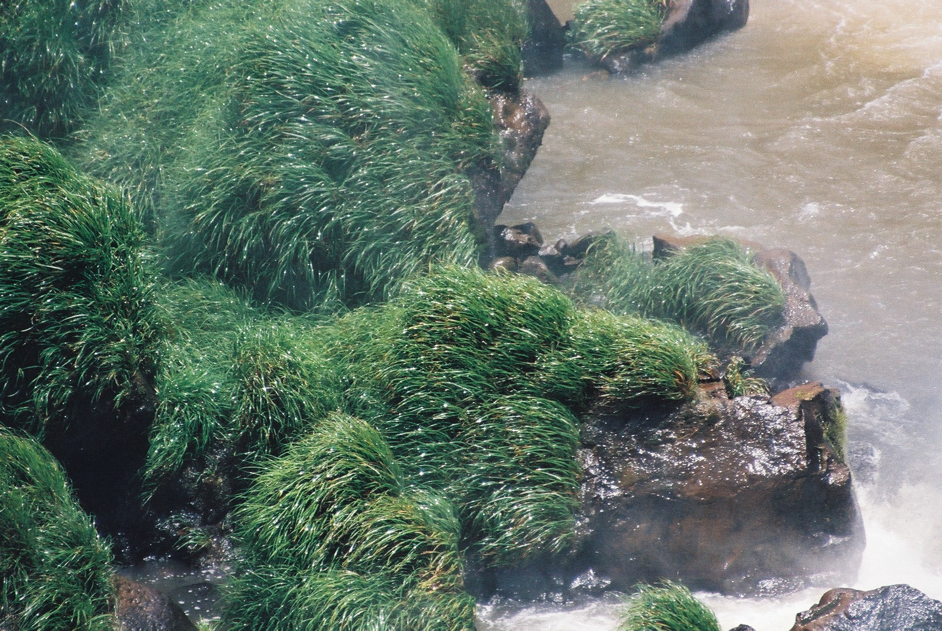 Plants in the Spray, Iguazu.JPG