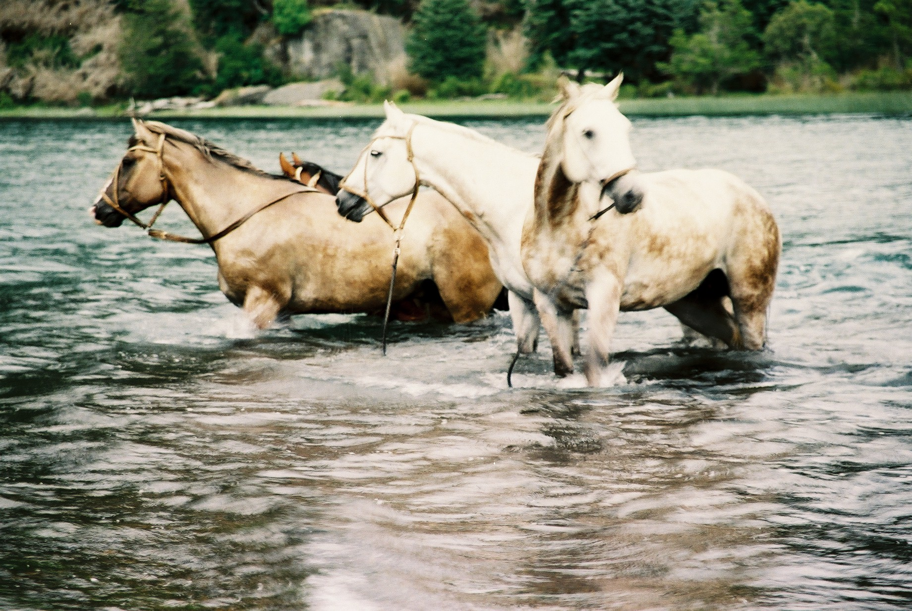 Three Horses in the River, Lanin.JPG