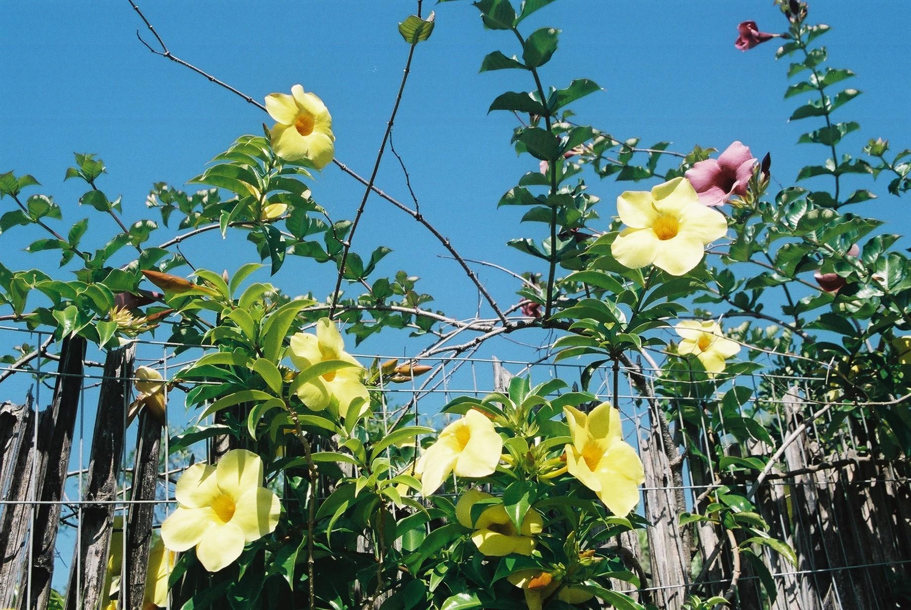 Yellow Flowers, Rosa.JPG