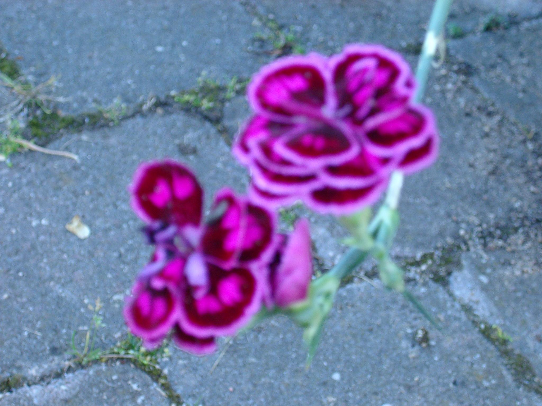Clove Carnations, Warwickshire.JPG