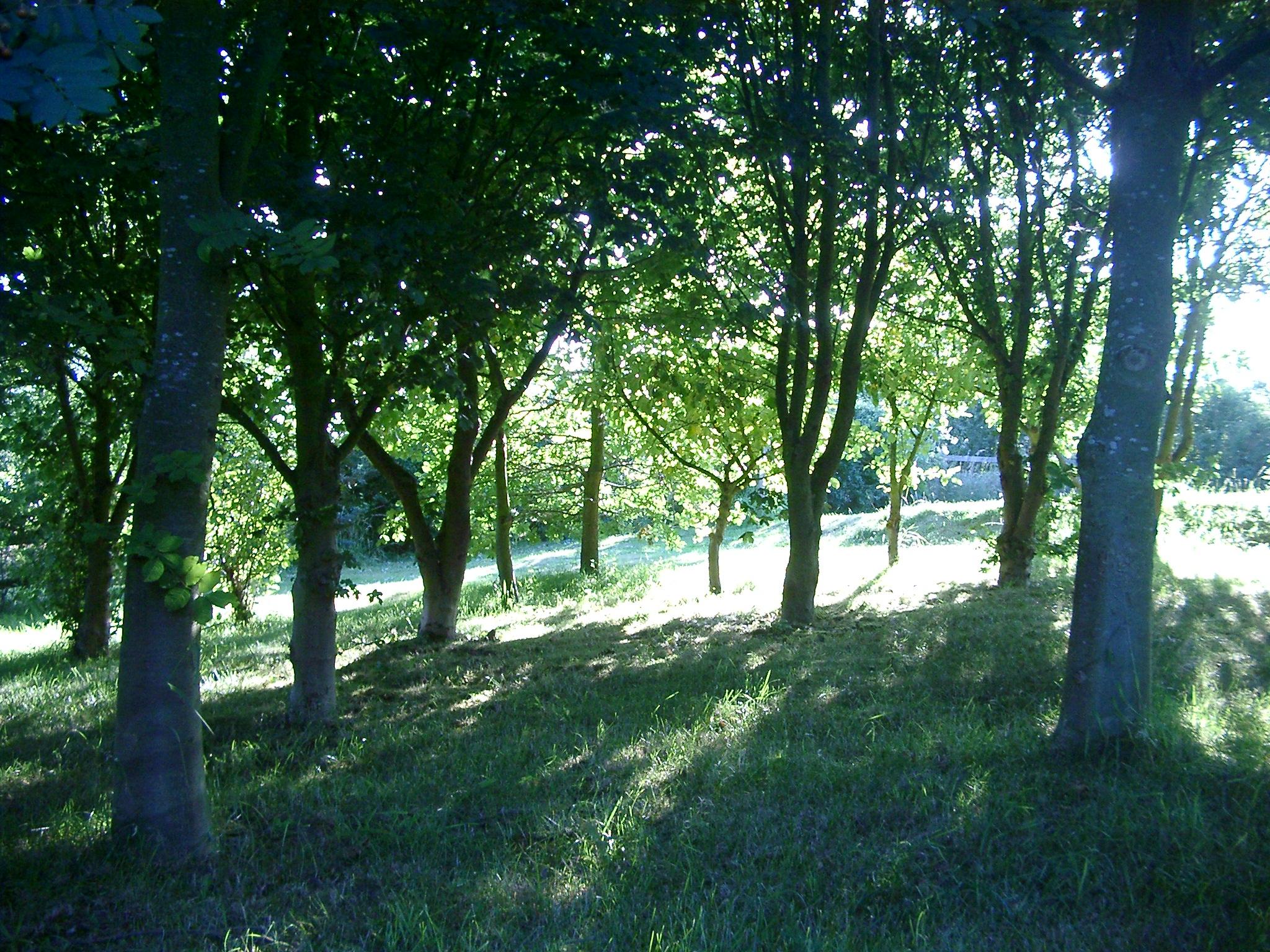 Sun through Trees, Warwickshire.JPG