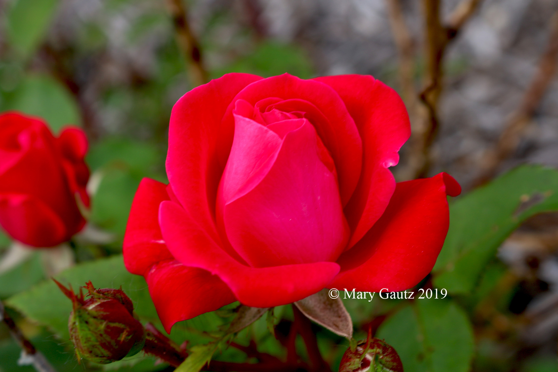 Red Rose copywrited copy.jpg