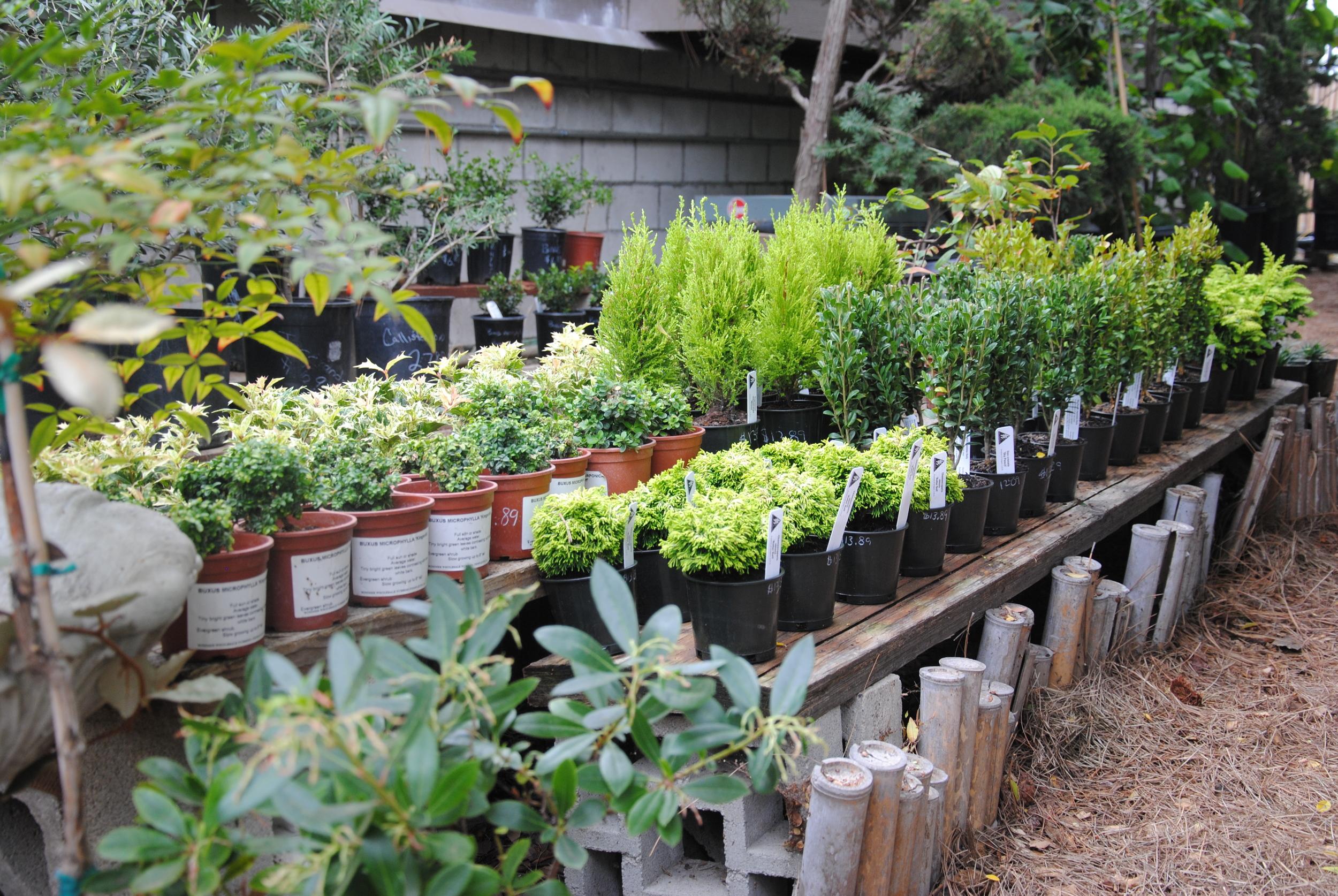 Bonsai-nursery-in-san-diego.JPG