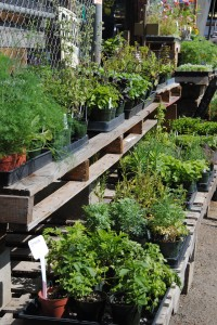 A fresh shipment of herbs  arrived this week.   Look for assorted varieties of 1-gallon  rosemary and lavender, $7.99 each.