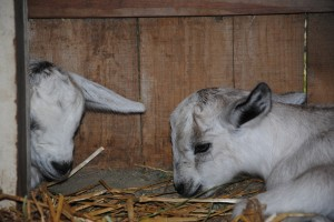 These little cuties have been joined by another set of twins! Watch for upcoming pictures of our little goat nursery.