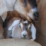 Goat_08-01-2014 (20)