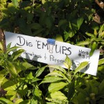 Our fall/winter tomatoes can be found in our Dig 'ems flats.