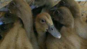 Ducklings_09-05-2014 (3)