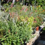 Our butterfly garden selections can increase your garden's butterfly magnetism.