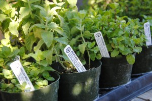 We have enough mint varieties for you to start a nice collection.
