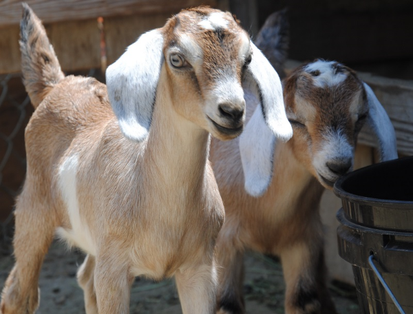 Raising Goats  - free/no need to RSVP  Saturday, February 28  1-2:30 pm   Additional information