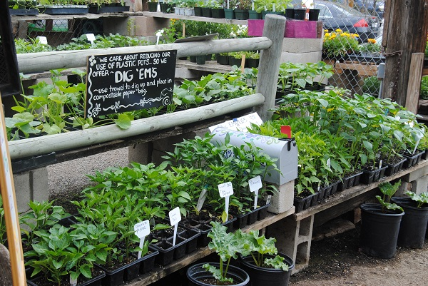 We created our organically-grown Dig 'em Ups to reduce plastic waste.  Gardeners take their plants home in a paper bag, and the growing containers are used over and over.  Many of our Dig 'ems are started from seed here in the nursery greenhouse.