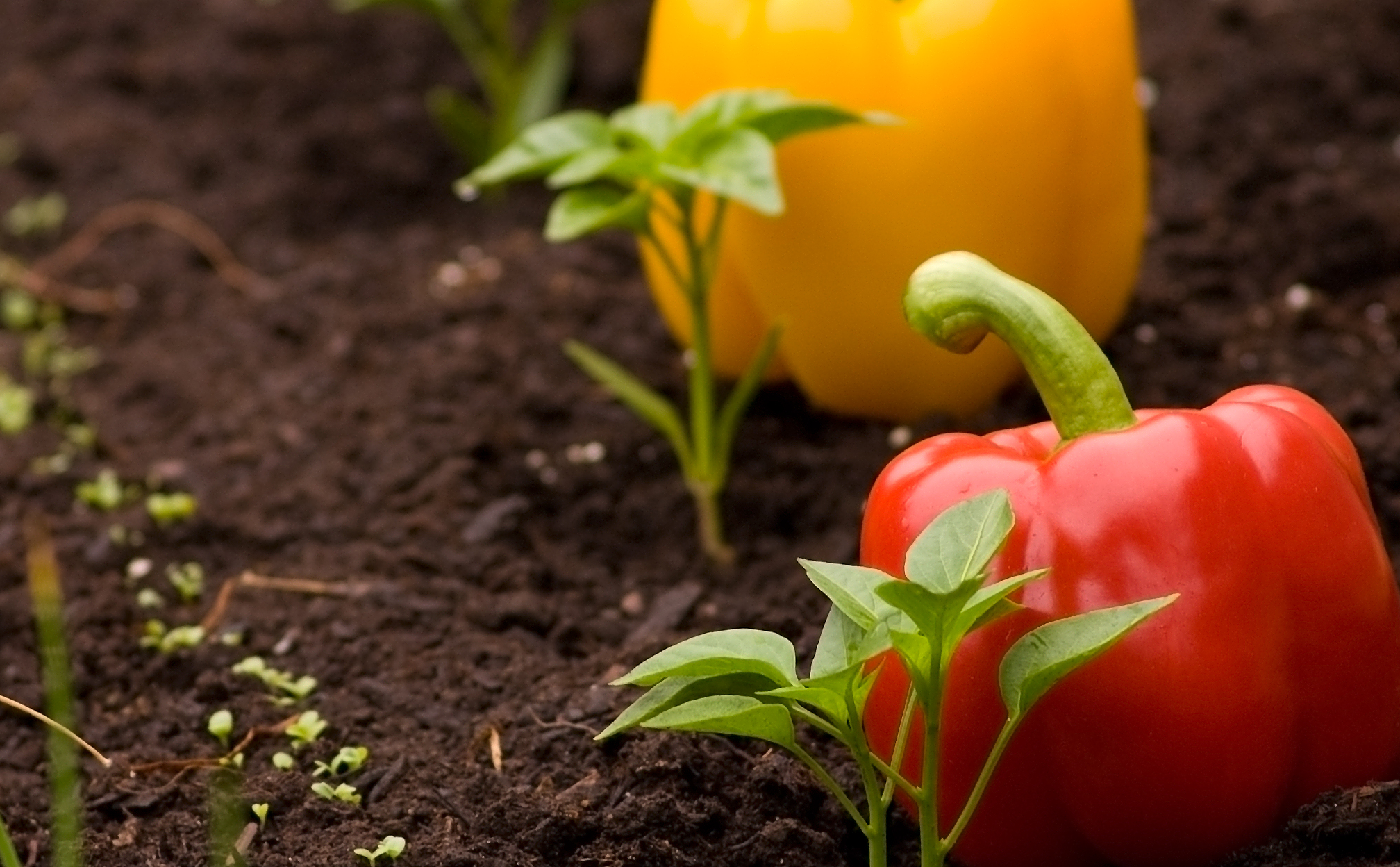 peppers-available-at-city-farmers-nursery
