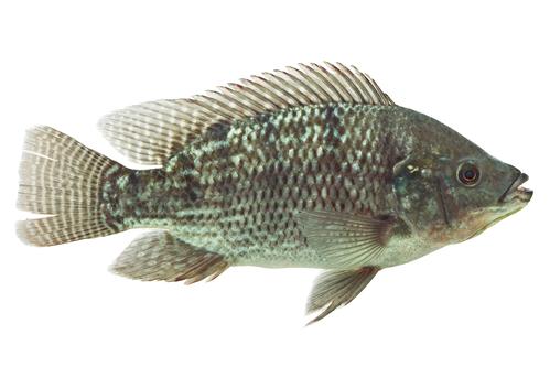 Mozambique Tilapia ( Oreochromis mossambicus)