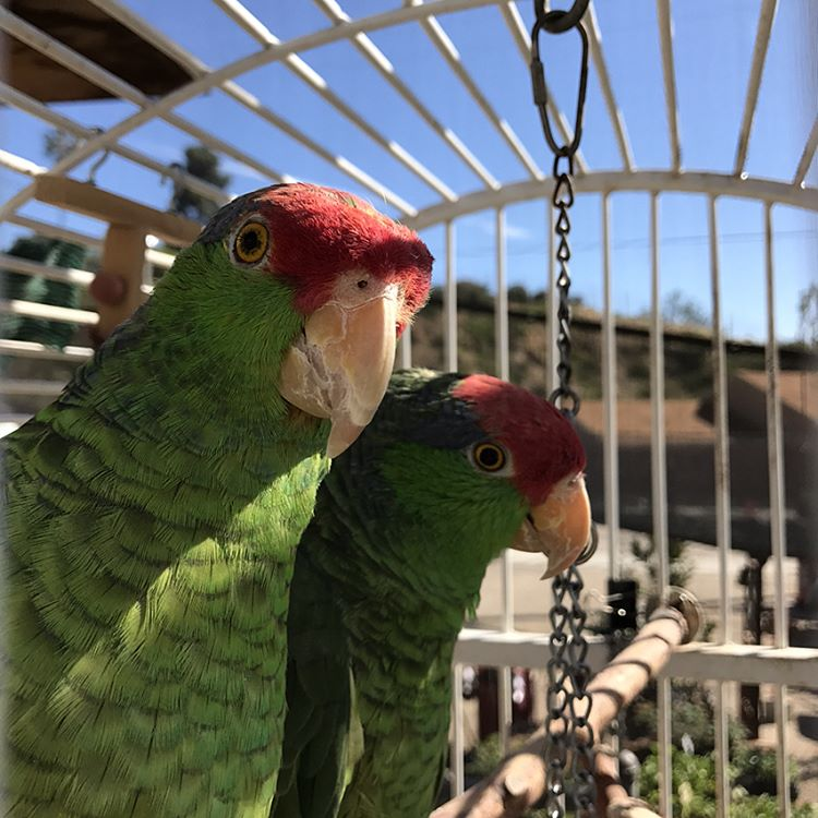 Limpy & Gimpy Rescue Parrots