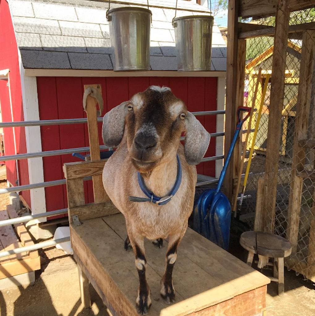 Friendly Goats keep our OnSite Goat-Milking Co-Op Hopping