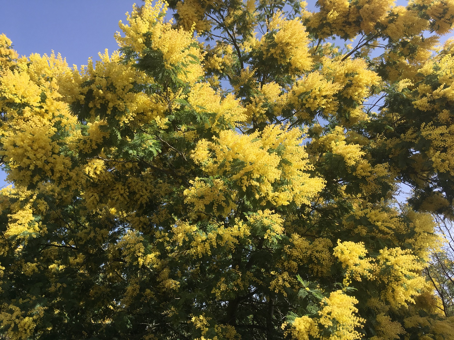 Mimosa in Bloom, Algarve Walks, Great Circle Route