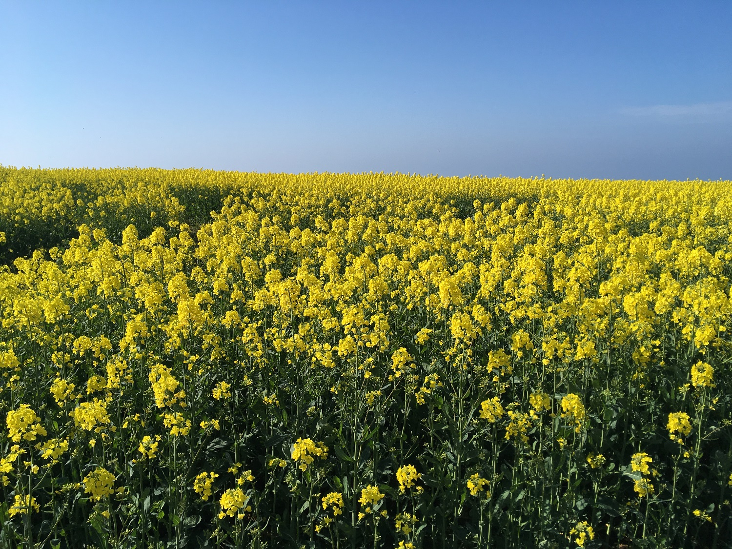 Great Circle Route, Cornwall & South West England Walks & Gardens, Along the Trail Spring Rapeseed