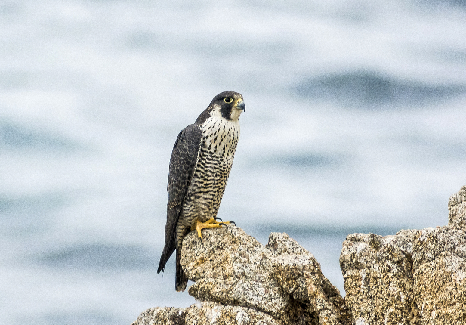 Pic. 5 : A beautiful peregrine falcon ( Falco peregrinus ) perches on a rocky sea cliff