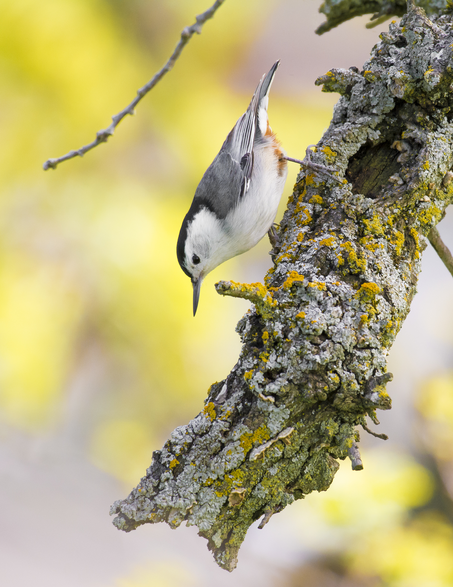 A white-breasted nuthatch ( Sitta carolinensis ) searches for insects in Martinez, California