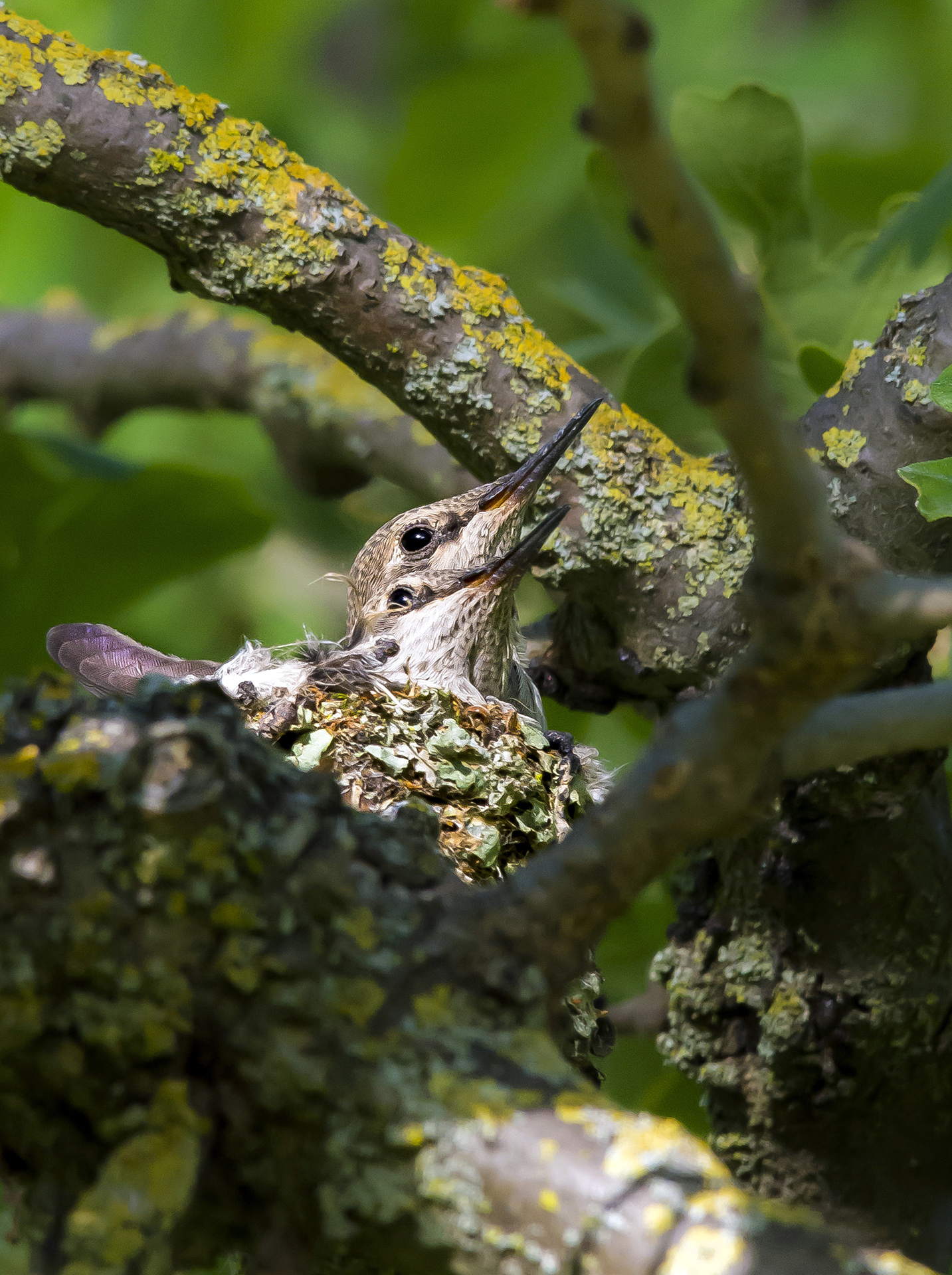 Two juvenile Anna's hummingbirds pack into a little lichen and web nest