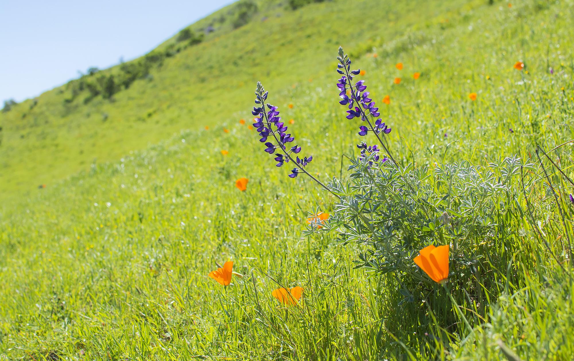 Silver lupine ( Lupinus albifrons ) grows amongst California poppies ( Eschscholzia californica )on a hillside in Las Trampas Regional Wilderness