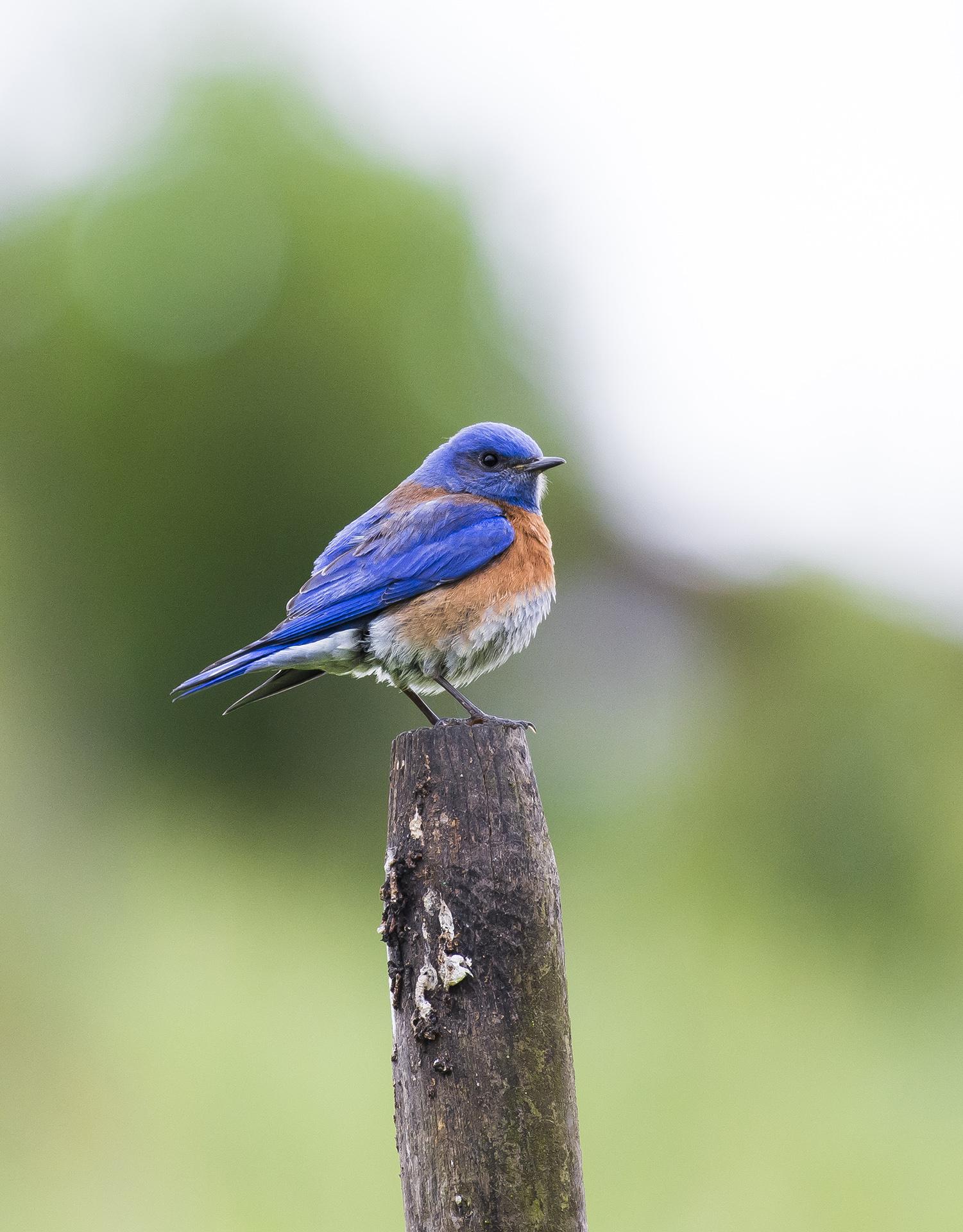 A western bluebird ( Sialia mexicana ) perched on a stake in a San Ramon neighborhood