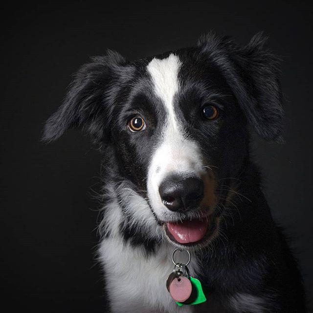 Felix says hi  #dog #portrait #dork #dogsofinstagram #bordercollie