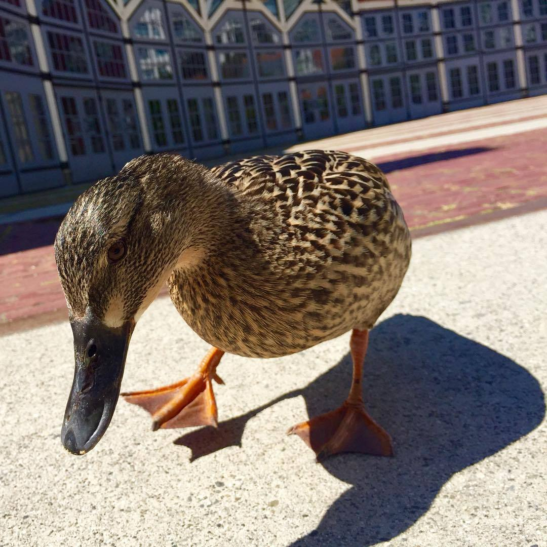 I love ducks. (at Roundhouse Community Arts & Recreation Centre)