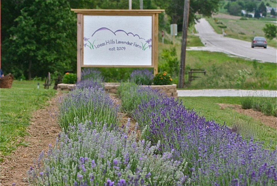 With faith and perseverance, this is the story of how we brought lavender farming to the Loess Hills of Iowa .