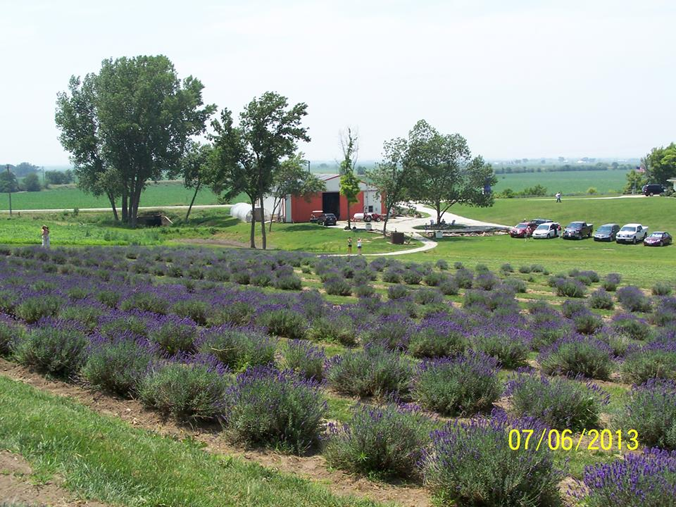 Loess Hills Lavender Farm. Hidcote Field,  Fall 2013