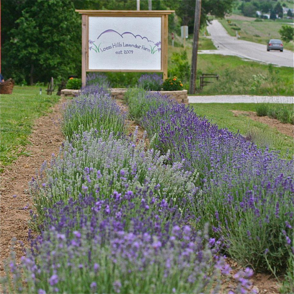 Blooming Lavender With Sign.jpg