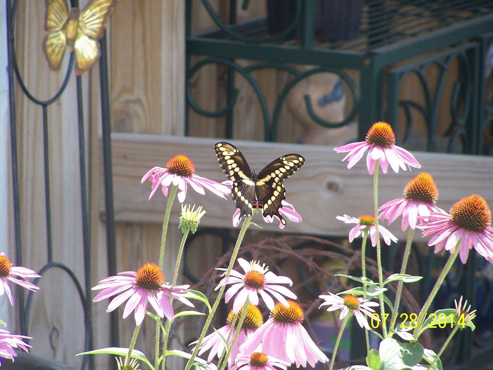 more butterflies.jpg