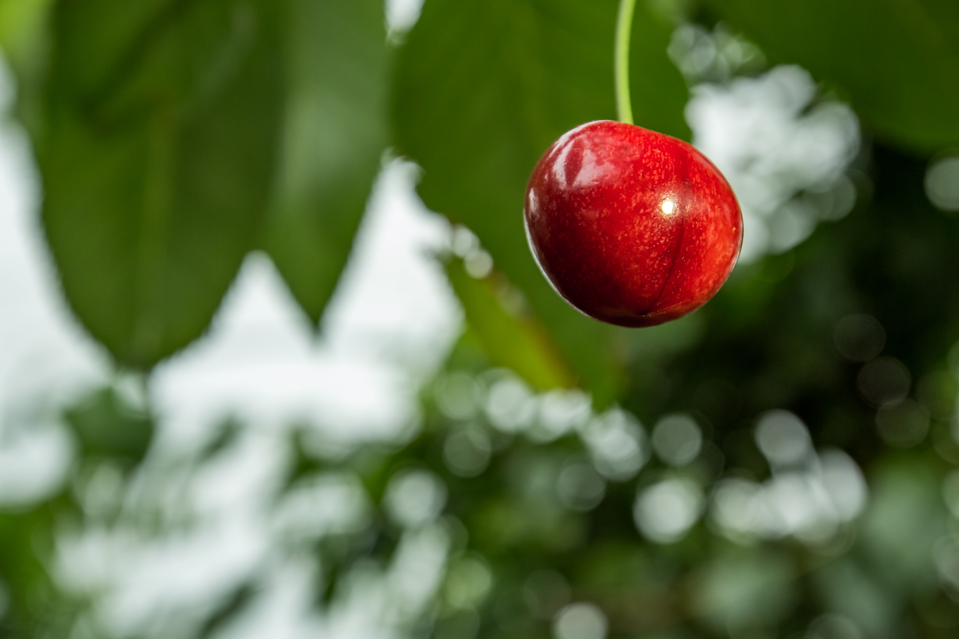Lone Cherry