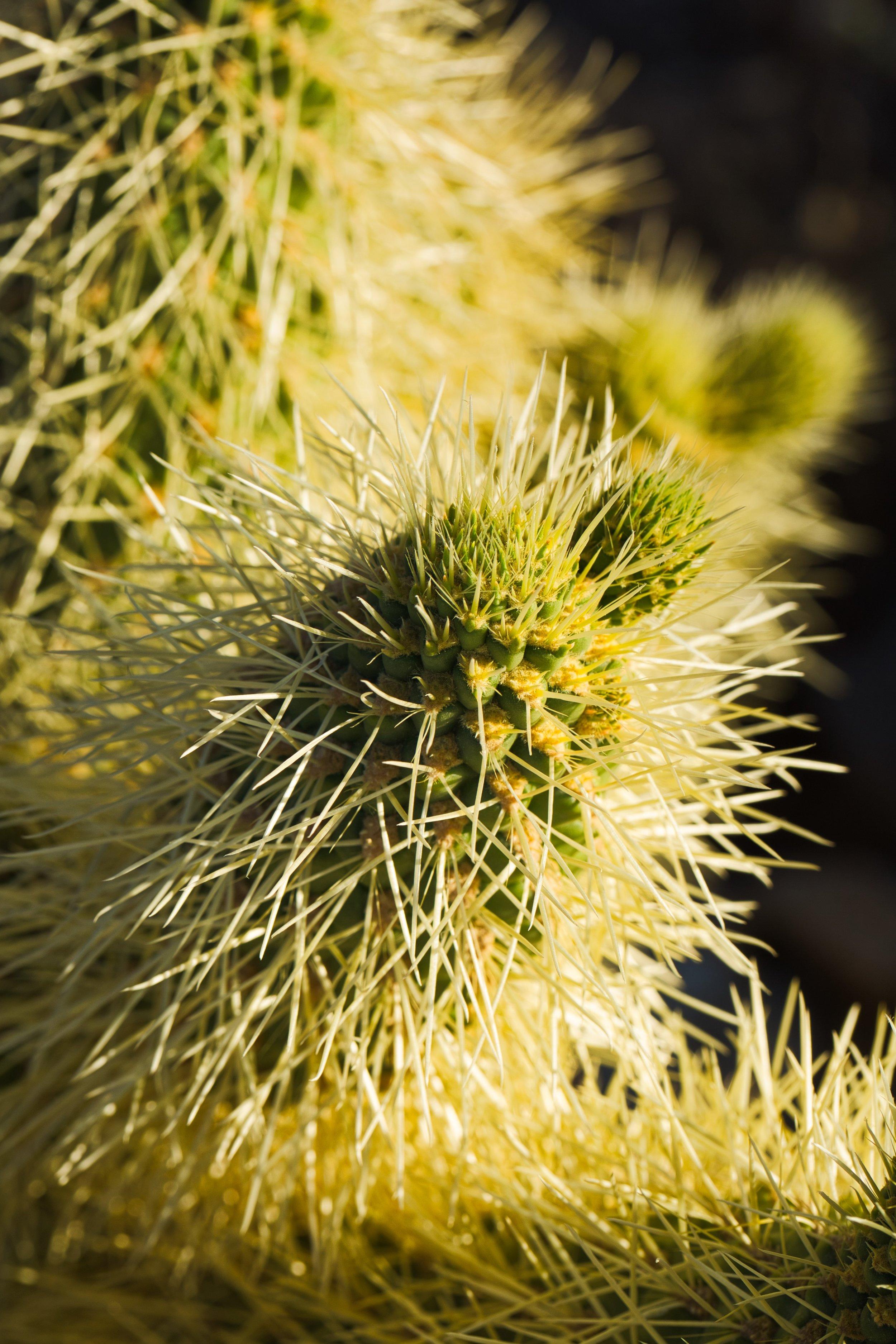 Cholla Cactus Macro.jpeg