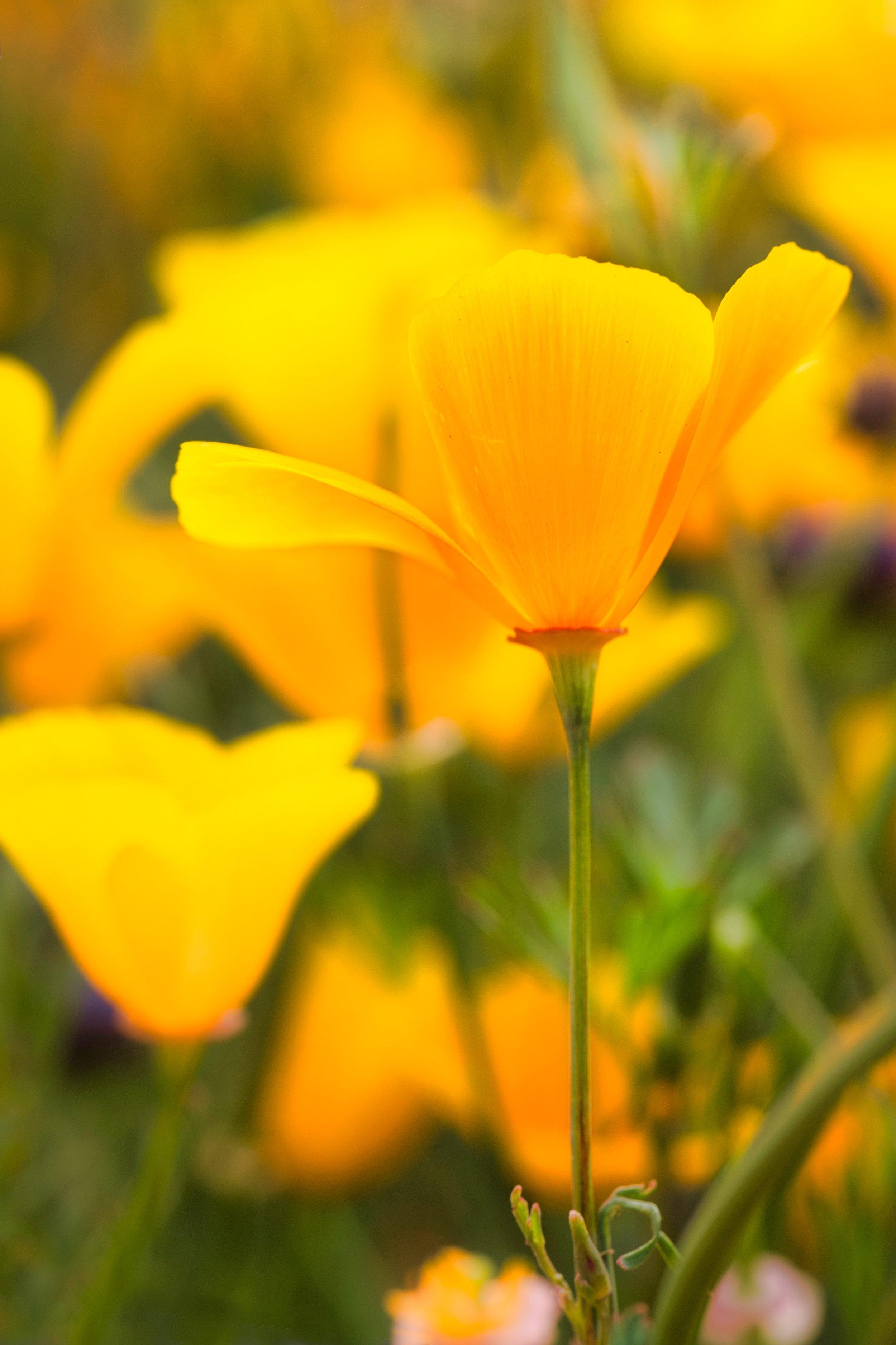 California Poppy.jpeg