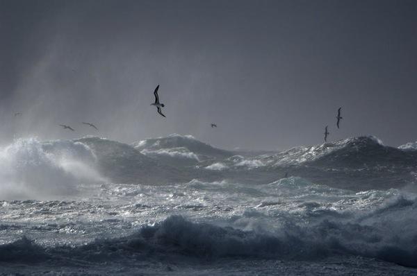 black-browed-albatrosses-flying-frans-lanting