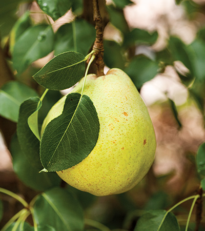 Wine-Pasched-Pears