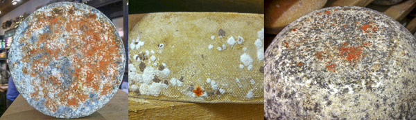 Sporendonema casei  growing on cheeses from Wisconsin (left), France (center) and the UK (right). Photo: Benjamin Wolfe