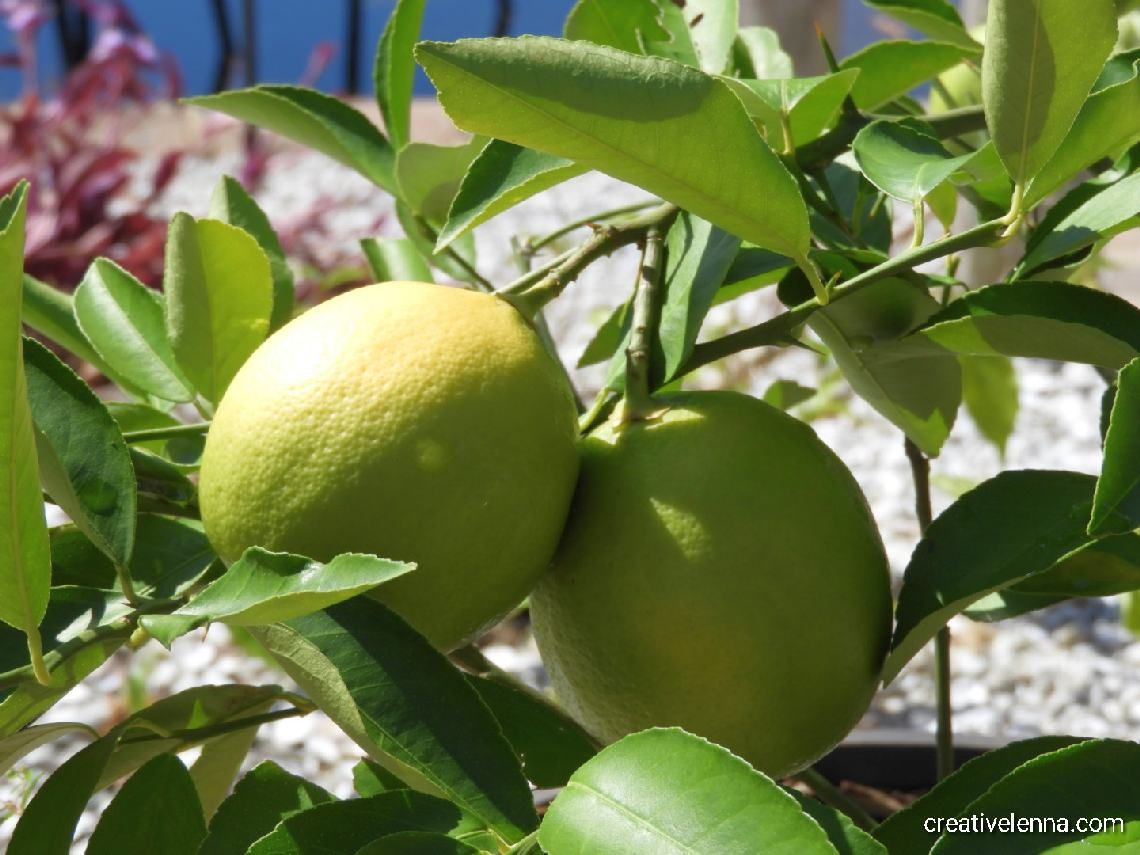 257: photo of our lemons