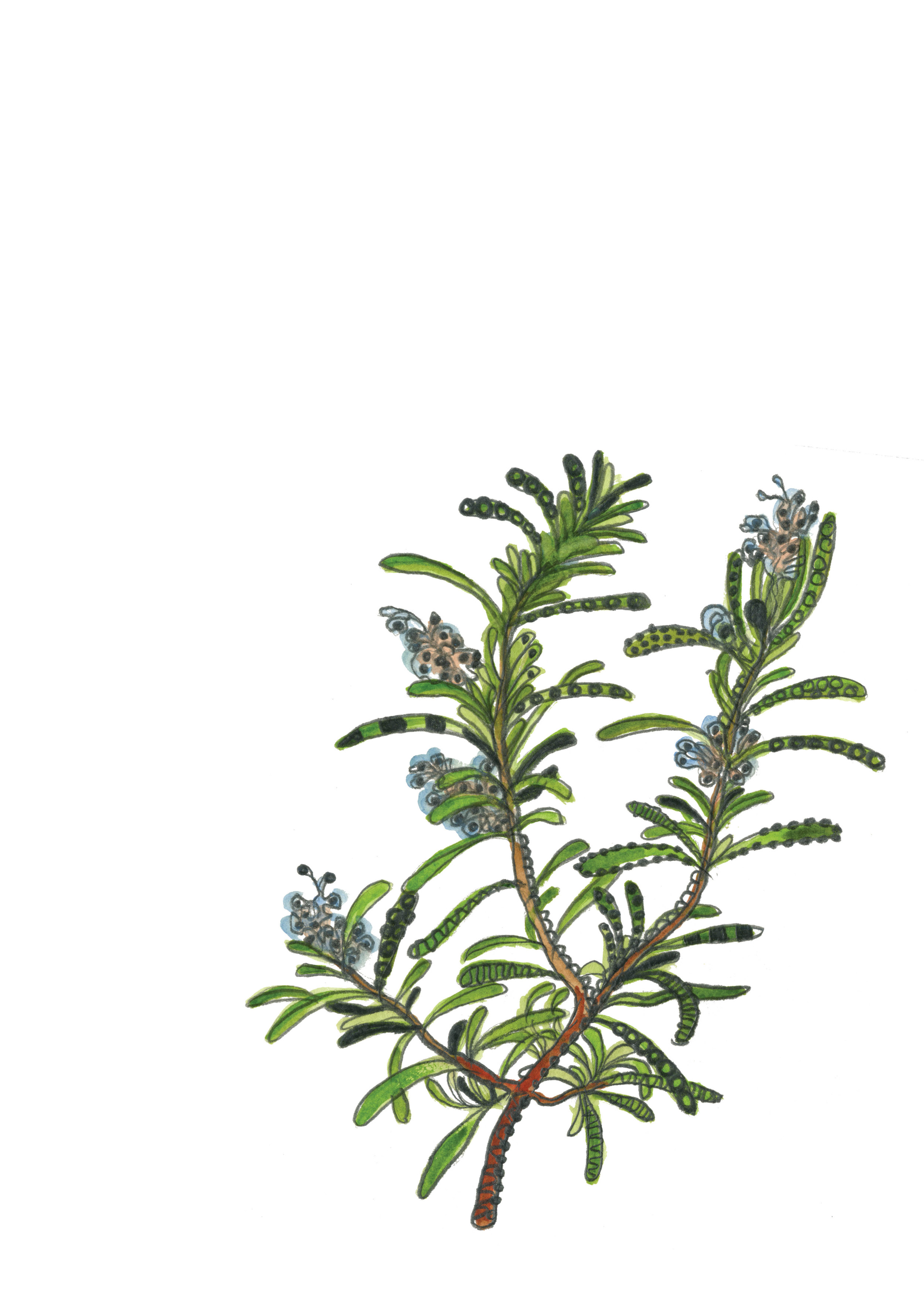 Rosemary by Bridget Melling-Williams