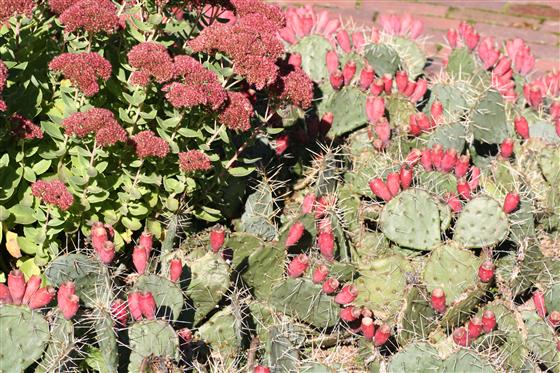 The red fruit and unique habit of  Opuntia phaeacantha  looks striking next to the rich fall colors of tall sedums.