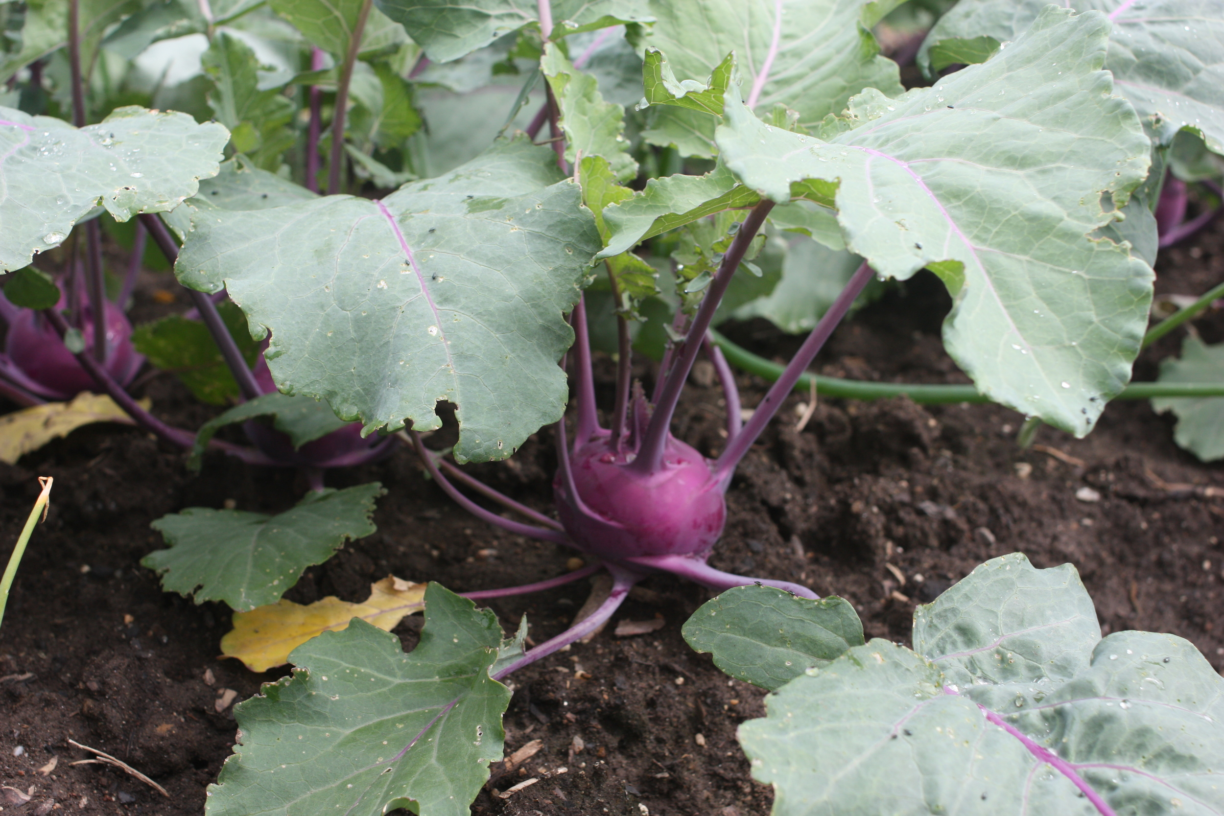 The pretty purple bulbs of kohlrabi 'Kohlibri' are easy to grow, delicious, and worth the 45-day wait.