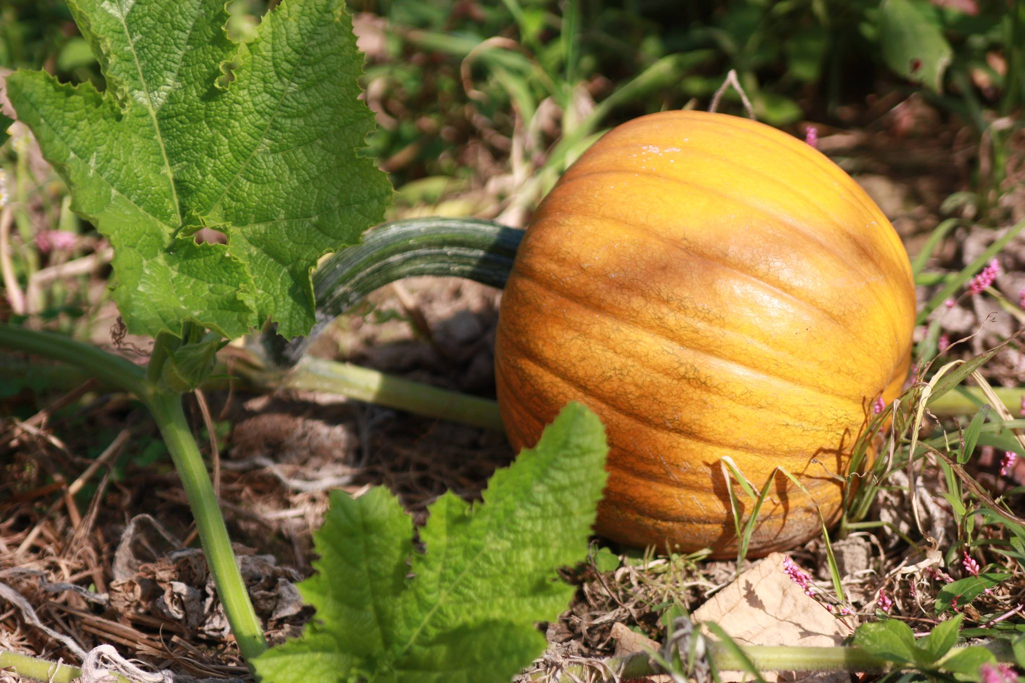 A 'Small Sugar' pumpkin growing on the vine