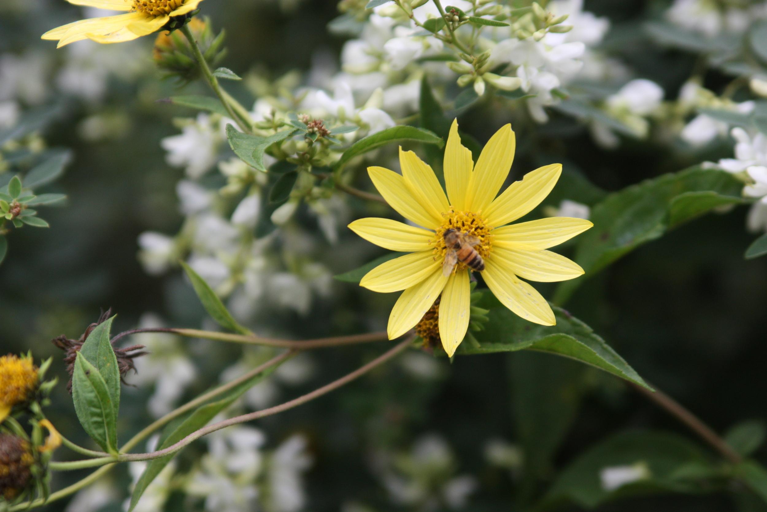 Helianthus 'Lemon Queen' JaKMPM.jpg